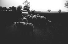 Shepard Herding Flock Of Sheep...