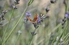 Small Copper (Lycaena Phlaeas), Gossamer Winged Butterfly On A Blooming Lavender.