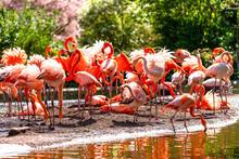 Flamingo. Flock Of Flamingo Birds On The Shore Of A Pond