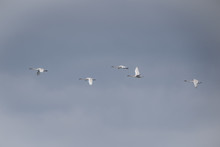 Trumpeter Swans On Their Annua...