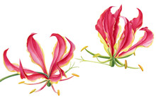 Tropical  Flowers, Gloriosa Luxury, Fire Lily, Watercolor Red Flower, Botanical Illustration
