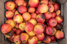 Spoiled Rotten Red Apples In T...