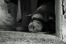 Pig Sleeping In Animal Pen
