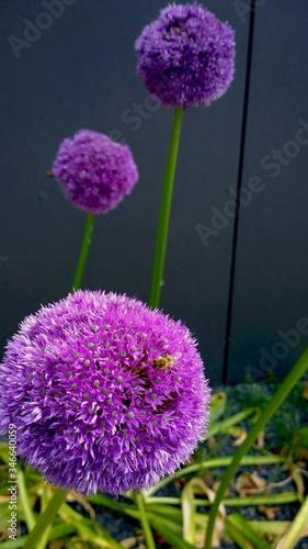 Photo Purple Allium Blooming Outdoors
