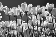 Tulip Black And White Flowers ...