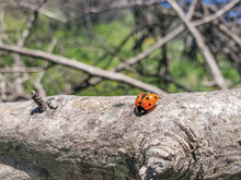 Spring Orange Ladybug Spread Her Wings In Wild Sunny Scenery,insects Animal