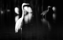 White Heron In The Pond. Photo...