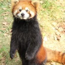 Portrait Of Red Panda On Field