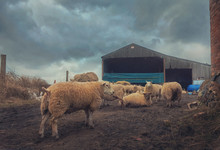 Sheep Standing At Dirt Road