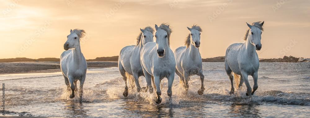 Fototapeta White horses in Camargue, France.