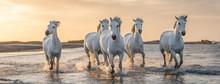 White Horses In Camargue, Fran...
