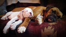 Boxer Dogs Sleeping On Sofa At Home