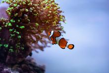 Nemo Clown Fish In Aquarium, L...