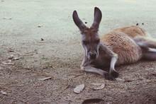 Kangaroo Relaxing On Field