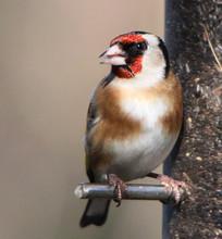 Close-up Of European Goldfinch Perching On Bird Feeder