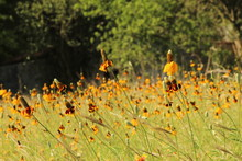 Long Headed Coneflower Growing, Balancing Side To Side, Dancing All Together For The Sun. Also Called Ratibida Columnifera, Thimbleflower, Prairie Coneflower, Or, Mexican Hat.