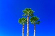 Leinwanddruck Bild - Low Angle View Of Palm Trees Against Clear Blue Sky