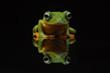 flying frog, tree frog, frog,