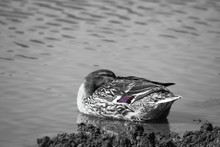 Duck Relaxing On Lake