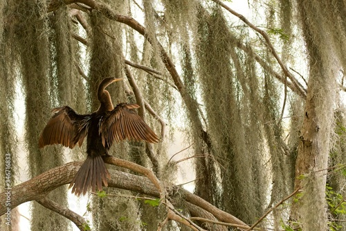 Photo anhinga drying in the moss