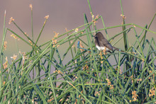 Black Head Phoebe Bird Perched In Reeds