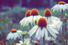 Close-up Of Coneflowers Bloomi...