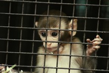 Close-up Of Infant Monkey In Cage