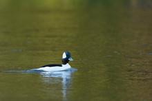 Bufflehead Duck Male Drake Swimming Water.