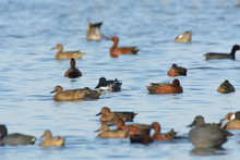 Small Group Of Cinnamon Teal D...