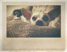 Chihuahua Resting On Sofa At H...