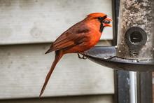 Close-up Of Cardinal Perching ...