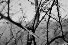 Close-up Of Thorny Bare Tree