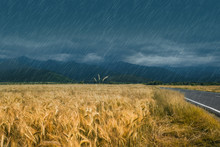 Heavy Rain Over Wheat Field On...