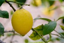 Vista De Un Limón En El árbol Pendiente De Recolección. Valencia. España