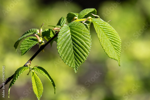 Fototapeta Young spring elm (Ulmus sp.) leaves