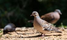 Turtle Dove Bird Posing On Gro...