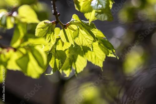 Fototapeta Small-leaved lime (Tilia cordata Mill