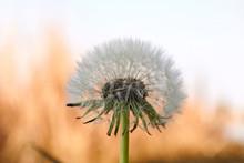 Big White Dandelion Macro Imag...