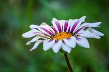 Colorful White And Magenta Striped Gazania Flower Macro