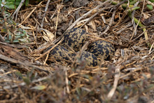 Eggs Of A Blacksmith Lapwing In A Nest.  Camouflaged Very Well.