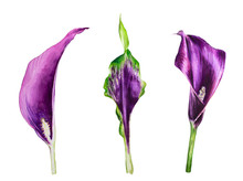 Watercolor Calla Flower On Whi...