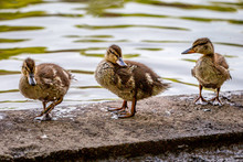 Three Ducklings Standing At The Edge Of A River