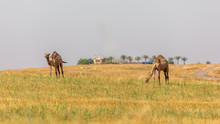 Pair Of Camels Eating Grass On...