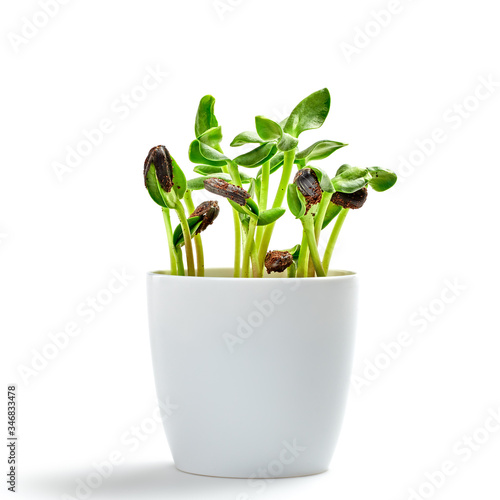 Fototapeta Microgreens sprouts in pot isolated on white background. Vegan micro sunflower greens shoots. Growing healthy eating concept. Sprouted sunflower seeds, microgreens, minimal design obraz