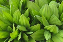 Wild Garlic ( Allium Ursinum )...