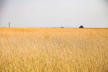 Wide Angle Of Dry Wild Grass In Rural Area Of South Africa's Highveld Region