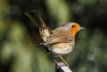 Close-up Of European Robin Per...