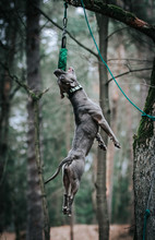 American Staffordshire Terrier In Action. Power Of Dog. Super Fit And Strong Amstaff.