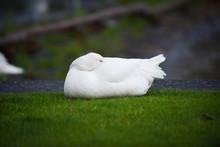 Sleeping Goose On The Gras