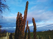Low Angle View Of Dried Plants Against Cloudy Sky